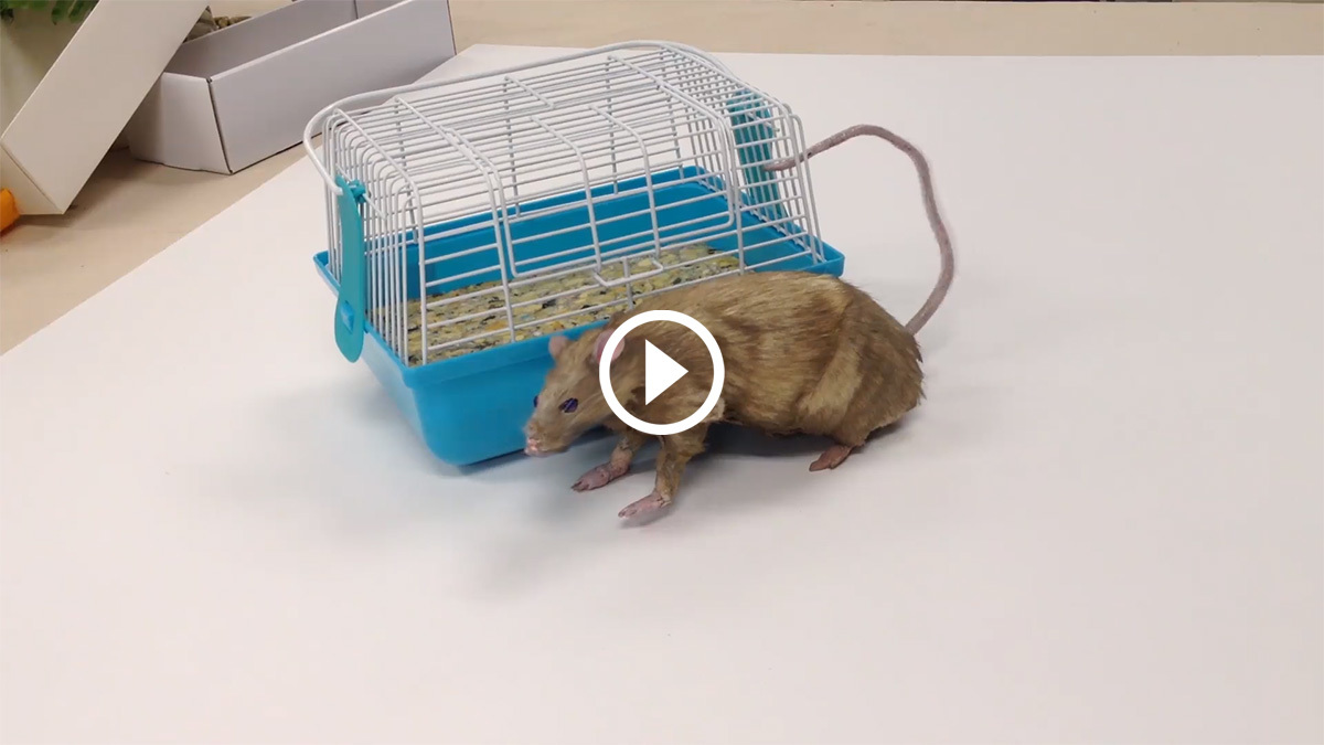 Rat Video Preview 1200